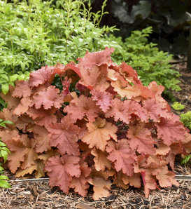 Primo® 'Peachberry Ice' - Coral Bells - Heuchera hybrid