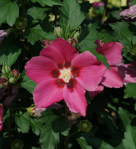 Paraplu Rouge™ - Rose of Sharon - Hibiscus syriacus