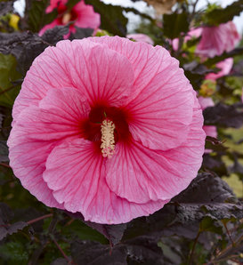Summerific® 'Edge of Night' - Rose Mallow - Hibiscus hybrid