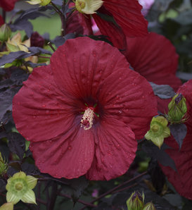 Summerific® 'Holy Grail' - Rose Mallow - Hibiscus hybrid