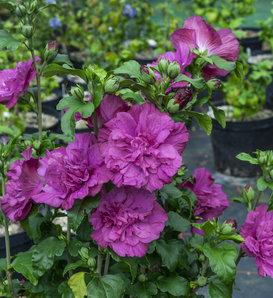 Magenta Chiffon® - Rose of Sharon - Hibiscus syriacus