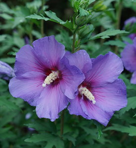 Paraplu® Violet - Rose of Sharon - Hibiscus x