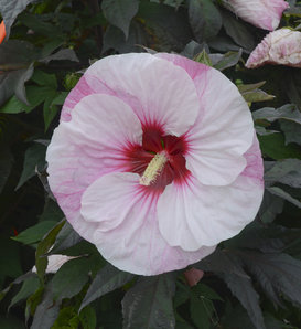 Summerific® 'Perfect Storm' - Rose Mallow - Hibiscus hybrid