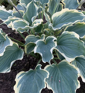 Shadowland® 'Hope Springs Eternal' - Hosta hybrid