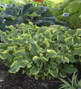 Shadowland® 'Wheee!' - Hosta hybrid