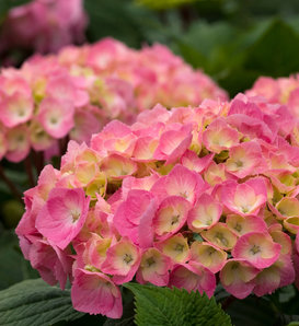 Let's Dance Big Easy® - Reblooming hydrangea - Hydrangea macrophylla