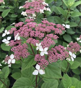 Invincibelle Lace™ - Smooth hydrangea - Hydrangea arborescens subsp. radiata