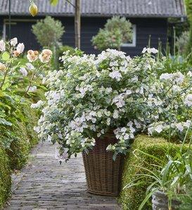 Fairytrail Bride® - Cascade Hydrangea - Hydrangea x