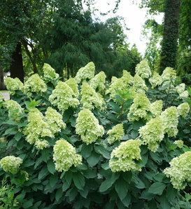 Limelight Prime® - Panicle Hydrangea - Hydrangea paniculata