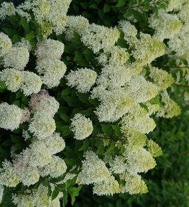 Quick Fire Fab™ - Panicle Hydrangea - Hydrangea paniculata