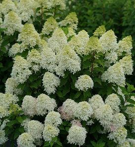 Quick Fire Fab® - Panicle Hydrangea - Hydrangea paniculata