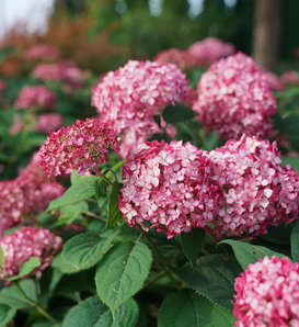Invincibelle® Ruby - Smooth hydrangea - Hydrangea arborescens