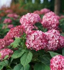 Invincibelle® Ruby - Smooth hydrangea - Hydrangea arborescens