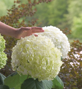 Incrediball® - Smooth Hydrangea - Hydrangea arborescens