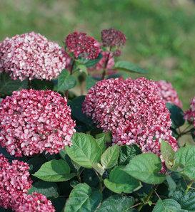 Invincibelle Garnetta® - Smooth hydrangea - Hydrangea arborescens