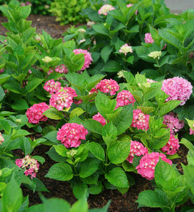 Let's Dance Big Band® - Reblooming hydrangea - Hydrangea macrophylla