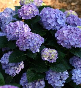 Let's Dance® Blue Jangles® - Reblooming hydrangea - Hydrangea macrophylla