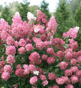 Fire Light® - Panicle Hydrangea - Hydrangea paniculata