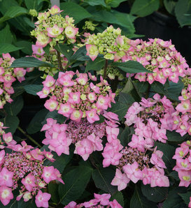 Let's Dance Can Do™ - Reblooming hydrangea - Hydrangea serrata