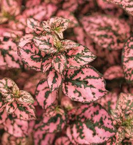 Hippo® Pink - Polka Dot Plant - Hypoestes phyllostachya