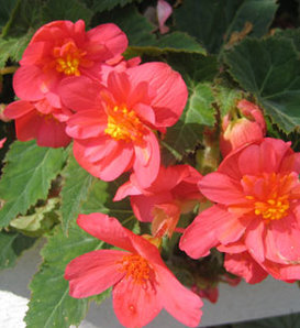 Illumination® Salmon Pink - Tuberous Begonia - Begonia x tuberhybrida
