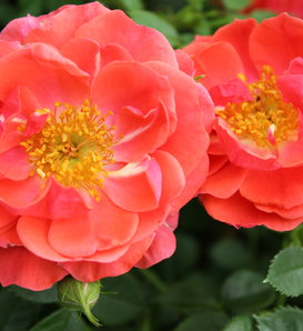 Oso Easy® Mango Salsa - Landscape Rose - Rosa x