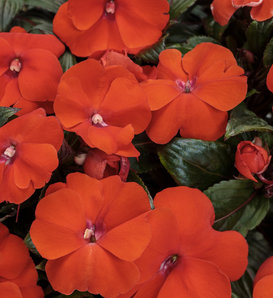 Infinity® Orange - New Guinea Impatiens - Impatiens hawkeri