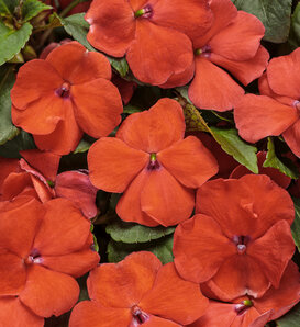 Soprano® Orange - Bedding Impatiens - Impatiens walleriana