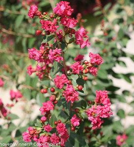 Infinitini® Brite Pink - Crapemyrtle - Lagerstroemia indica