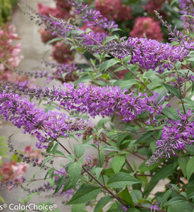 Inspired Violet™ - Butterfly bush - Buddleia x