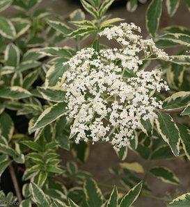 Instant Karma® - Elderberry - Sambucus nigra