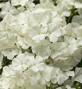 Intensia® White - Phlox drummondii