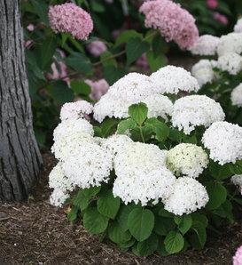 Invincibelle Wee White® - Smooth hydrangea - Hydrangea arborescens