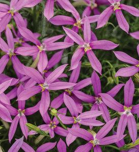Patti's Pink™ - Star Flower - Isotoma axillaris