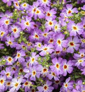 Safari® Sky - South African Phlox - Jamesbrittenia hybrid