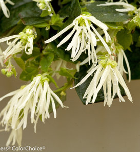 Jazz Hands® Dwarf White - Chinese fringe-flower - Loropetalum chinense