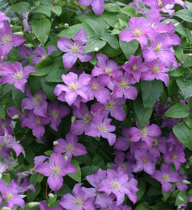 Jolly Good™ - Clematis sp.
