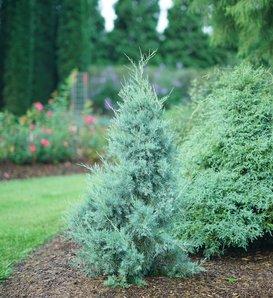 Aquavita™ - Juniperus virginiana