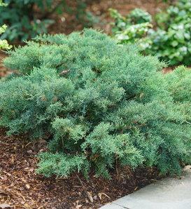 Montana Moss® - Juniperus chinensis