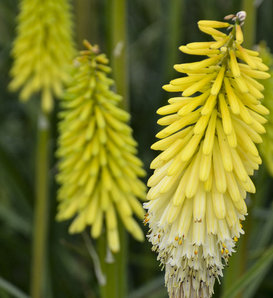 Pyromania™ 'Flashpoint' - Red Hot Poker - Kniphofia hybrid