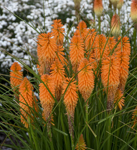 Pyromania™ 'Orange Blaze' - Red Hot Poker - Kniphofia hybrid
