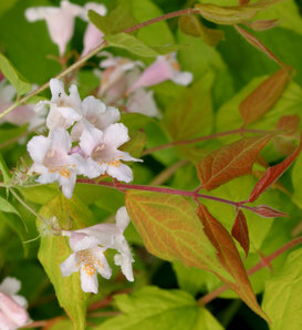 Dream Catcher® - Beauty Bush - Kolkwitzia amabilis
