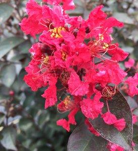 Rikki Tikki™ Rouge - Crapemyrtle - Lagerstroemia indica