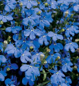Laguna® Dark Blue - Lobelia erinus