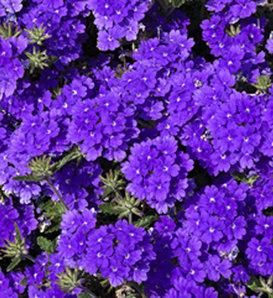 Lanai® Blue - Verbena hybrid