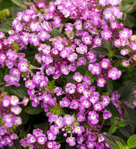Luscious® Grape - Lantana montevidensis