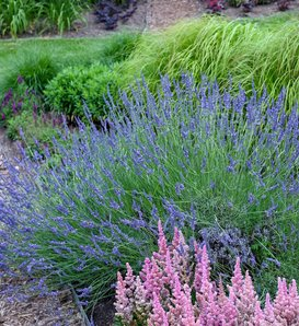 Phenomenal - Lavender - Lavandula x intermedia