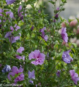 Lavender Chiffon® - Hibiscus syriacus