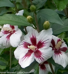 Lil' Kim® - Rose of Sharon - Hibiscus syriacus