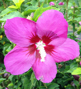 Lil' Kim® Violet - Rose of Sharon - Hibiscus syriacus